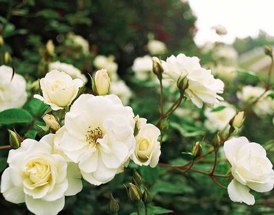 Select white flowers for home garden pashionforfashionhome one of the most dependable roses iceberg produces clusters of fragrant creamy white blooms all summer and fall mightylinksfo